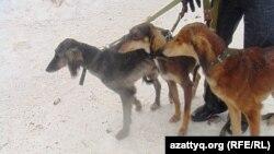 Собаки породы тазы Талгата Ермагамбетова. Актюбинская область, 22 декабря 2013 года.
