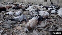 Fotografi e pëllumbave të ngordhur në vendin ku opozitarët sirianë thonë se forcat qeveritare kanë përdorur armë kimike, 24 gusht 2013