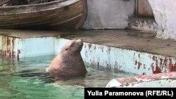 Сивуч Ким в Калининградском зоопарке