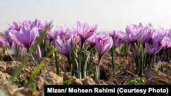 آرشیف، کشت زعفران در ایران