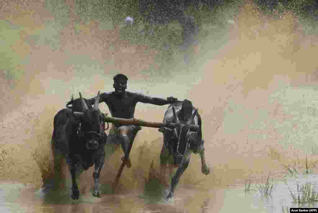 A jockey races a pair of bulls on paddy fields during the annual Kalapoottu bull-running festival near Palakkad in southern India. (AFP/Arun Sankar)