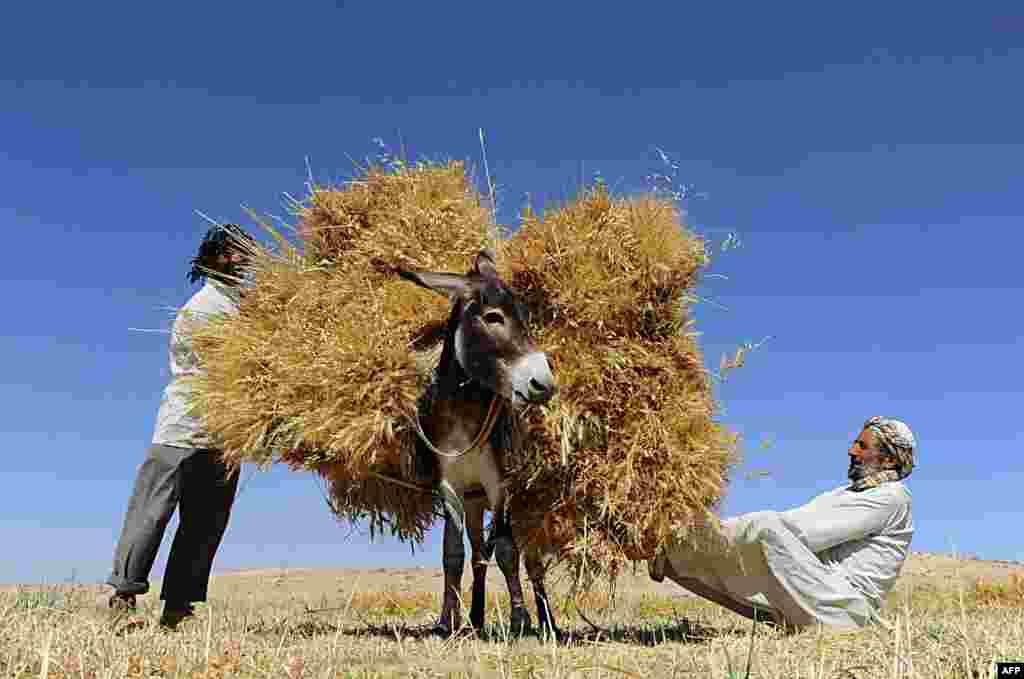 Afghan farmers load a donkey as they harvest wheat on the outskirts of Herat on June 23. (AFP/Aref Karimi)