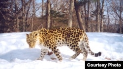 There are only a few dozen Amur leopards living wild in Russia. (file photo)