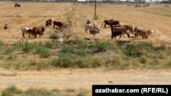 Пшеничные поля в Туркменистане. Животновода могут оштрафовать, если он пустит свой скот на поля даже после уборки урожая, при этом и скот, и люди в регионе страдают из-за засухи, отсутствия воды и пищи.
