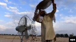 آرشیف، یک دهقان در حال پاک کردن میوه خشک در ولایت ننگرهار.