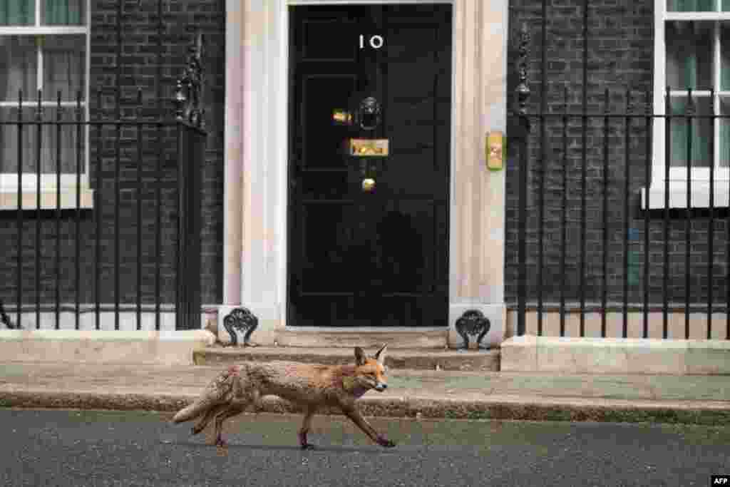 A fox runs past the front door of 10 Downing Street in central London on May 6. (AFP/Leon Neal)