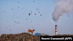 سگی ایستاده روی کوهی از زباله در بخش غازیپور شهر دهلینو- پایتخت هند آلودهترین شهر جهان لقب گرفته است.