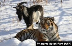 This winter's feel-good animal story: Amur and Timur