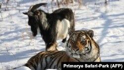 Тигр Амур и козел Тимур.