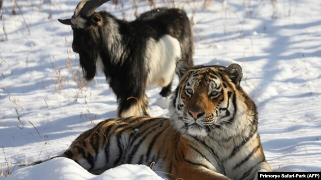 Amur the tiger and Timur the goat have been making headlines around the world after striking up an unlikely friendship.