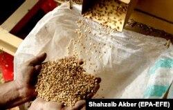Робітник сортує зерна пшениці перед тим, як зробити з неї борошно в пакистанському Ісламабаді. 7 квітня 2020 року