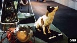 Preparirana Strelka u muzeju