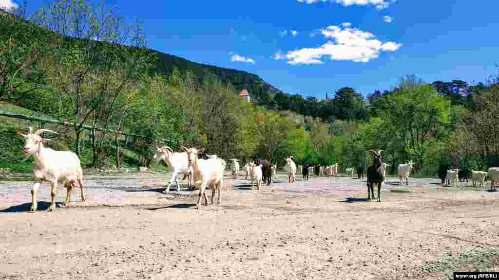 Стадо коз на территорииЯлтинского горно-лесного природного заповедника