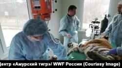 Раненую тигрицу оперируют. Фото предоставлено (С) Центр «Амурский тигр»/ WWF России