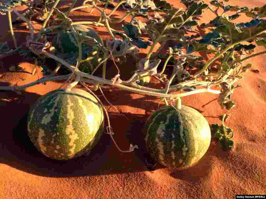 Дикие арбузы в пустыне