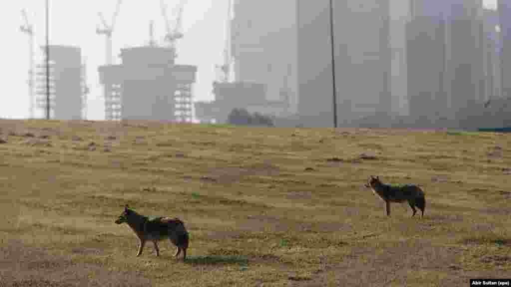Тель-Авивтегі саябақта жүрген қорқау қасқыр. Израиль, 15 сәуір 2020 жыл.