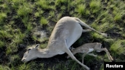 Погибшие самка и детеныш сайгака в Костанайской области. 20 мая 2015 года.