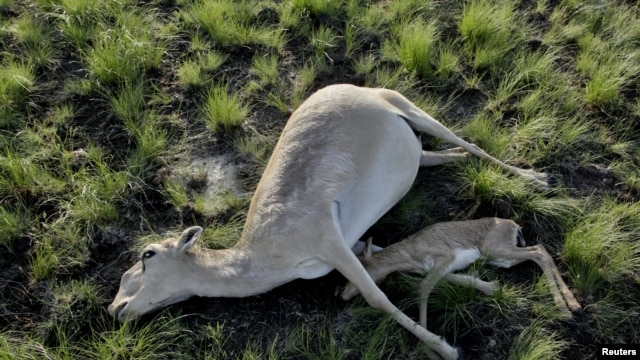 Over 90,000 antelope have died in Kazakhstan.