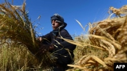 یک دهقان در حال کارکردن در مزرعه اش در ولایت هرات. October 12, 2015