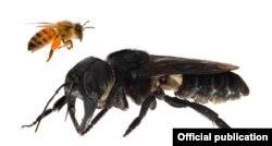 Megachile pluto бал аарысы.