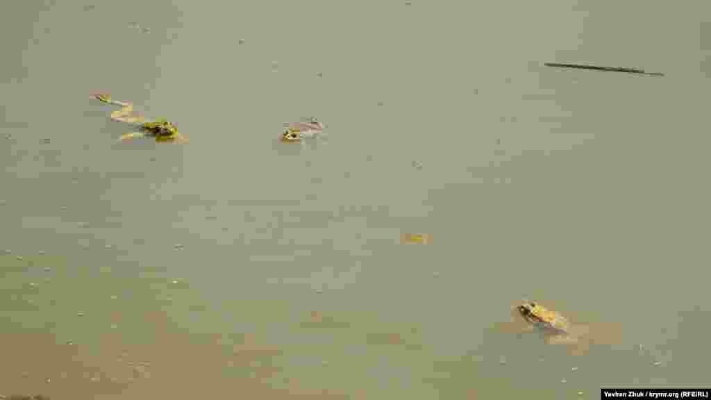 Услышав шаги, чуткие лягушки прыгнули в воду