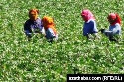 Мақта алқабында жүрген жұмысшылар. Түркіменстан, 25 тамыз 2013 жыл.