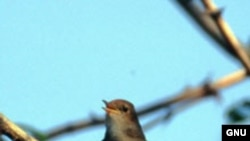 """В Германии городские соловьи поют настолько громко, что нарушают законы о шумовом загрязнении. <a href= """"http://en.wikipedia.org/wiki/Image:Luscinia_megarhynchos_Istria_01.jpg"""" target=_blank>GNU Free Documentation</a>."""
