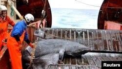Грендланд акуласы