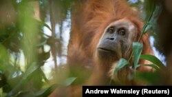 Всього за 16 років половина калімантанських орангутангів постраждала від впливу вирубки лісів або ж індустріальних плантацій