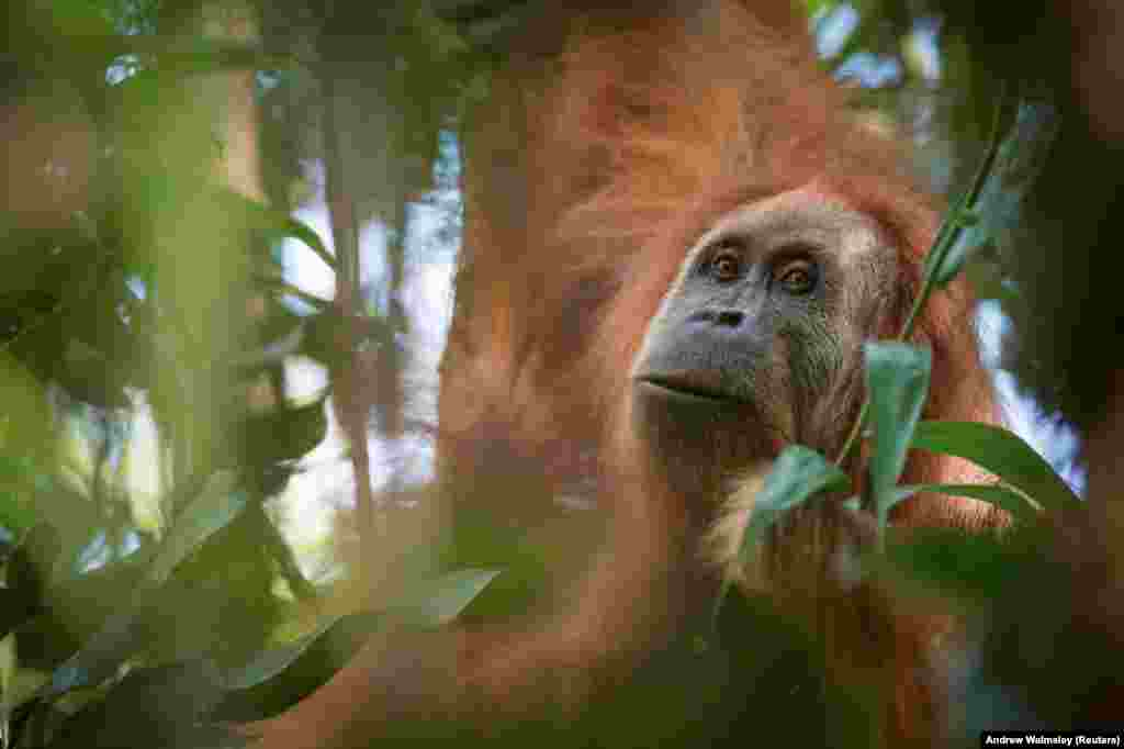 A photo of Pongo tapanuliensis, identified as a new species of orangutan, found on the Indonesian island of Sumatra, where a small population inhabits the Batag Toru forest. (Courtesy Andrew Walmsley/via Reuters)