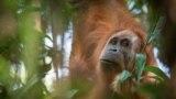 Indoneziýada orangutanlar kanun tarapyndan goralýar. Arhiw suraty