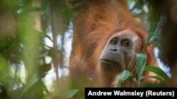 Orangutan, Indonezija