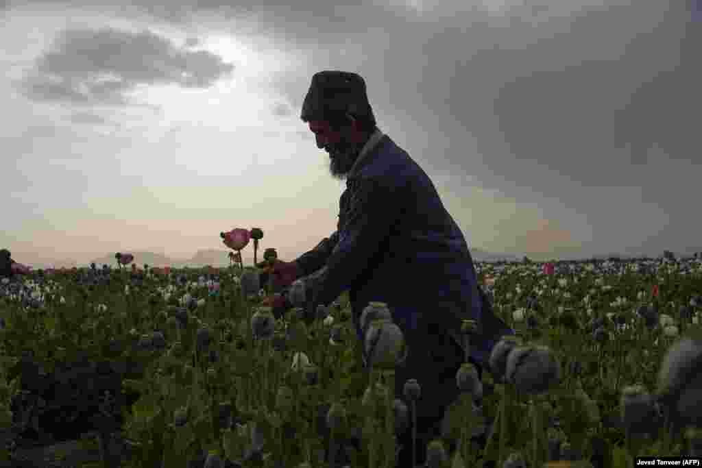 An Afghan farmer harvests opium sap from a poppy field in Kandahar Province. (AFP/Javed Tanveer)