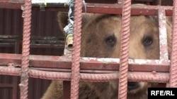 Как рассказывает Саид, хозяева проявляют заботу о медведице лишь в летний период, когда работает пацха, в другое время животному остается надеяться на добрых людей
