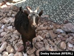 Нахальная коза на Сокотре