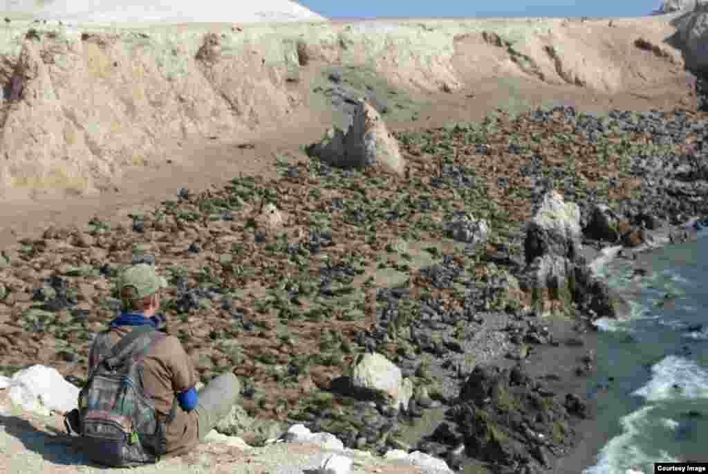 Самая большая колония морских львов на континенте, Перу,Южная Америка