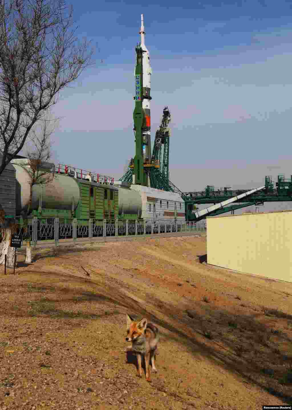 A fox at the Baikonur Cosmodrome in Kazakhstan on April 6.