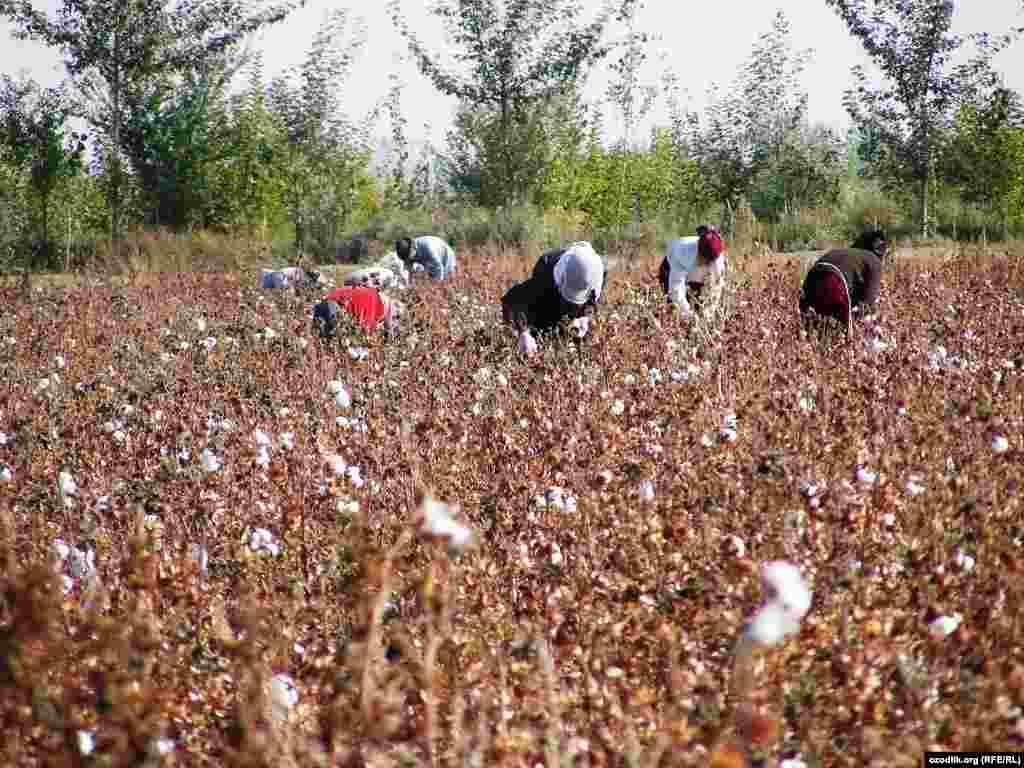Өзбекстанның Самарқан облысында оқушылар мақта теруге шықты.