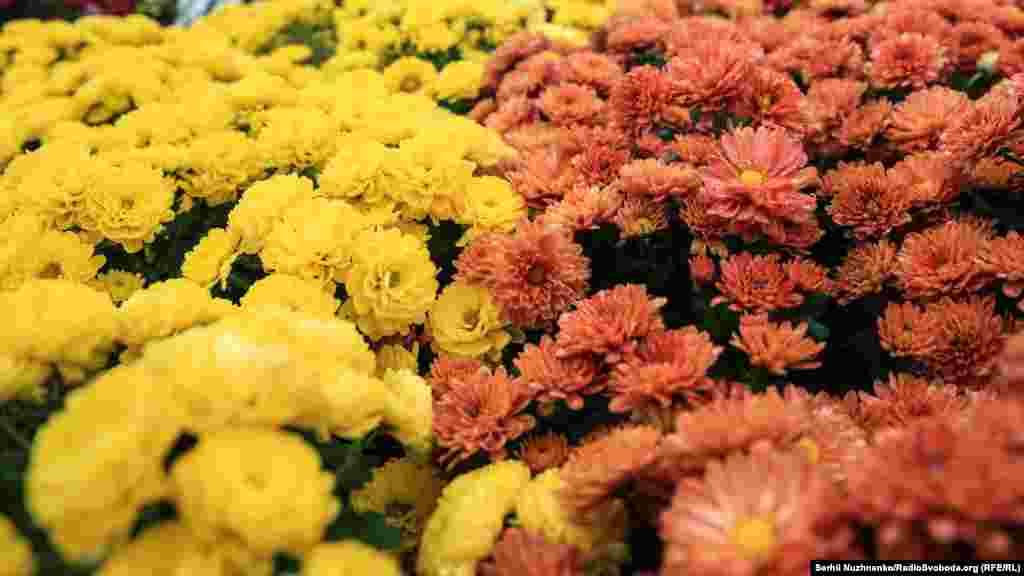Для формирования 10 цветочных композиций было высажено 25 тысяч хризантем разных сортов и цветов.