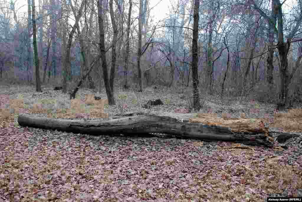 Упавший ствол дерева посреди рощи. На момент посещения рощи Баума репортером Азаттыка в ней было довольно чисто, мусора почти не было видно. Алматы, 7 декабря 2015 года.