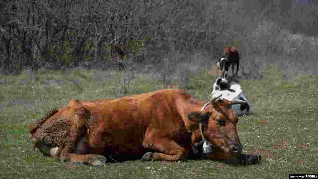 На зворотному шляху біля села нам зустрічається стадо корів