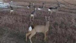 Чарада казуляў у Прыпяцкім нацыянальным парку. ВІДЭА з дрона