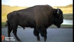 Бизон стал национальным символом США