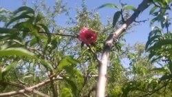 Şaftalı ağacında qızılgül?