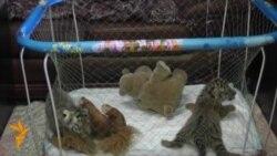 В ялтинском зоопарке родились тигрята