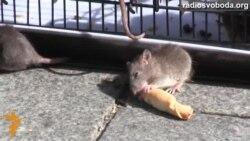 До Кабміну принесли щурів
