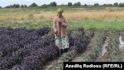 Masallı rayonun Təklə kəndində reyhan sahəsi, 2020