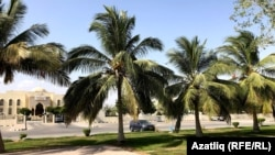 Оманда төп агач – пальмалар