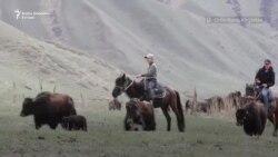 Mleko od jaka za težak rad kirgiskih pastira