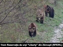 """Urși din Rezervația """"Libearty"""" din Zărnești"""
